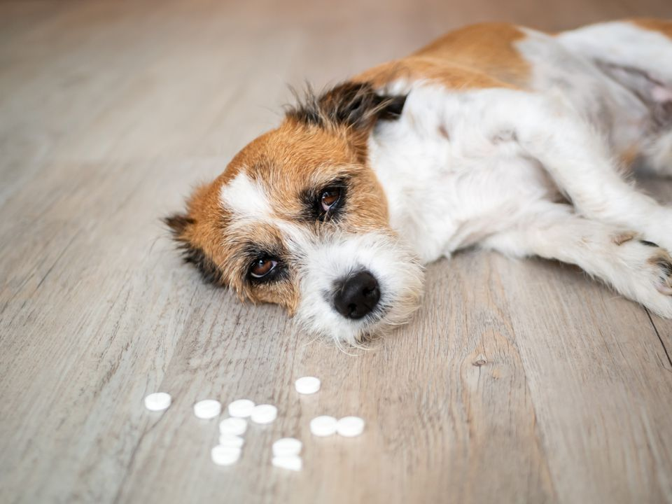 Dog laying down with pills on floor