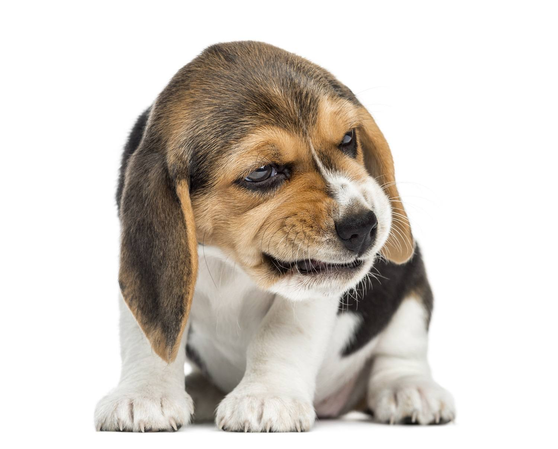 Beagle Puppy Snarling