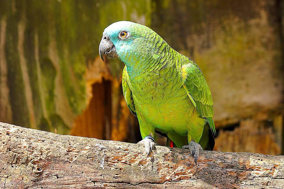 El Amazonas de frente azul (Amazona aestiva), también llamado el Loro de frente azul turquesa y el Loro de frente azul, es una especie sudamericana de loro amazónico y uno de los loros amazónicos más comunes en cautiverio como mascota o loro acompañante.