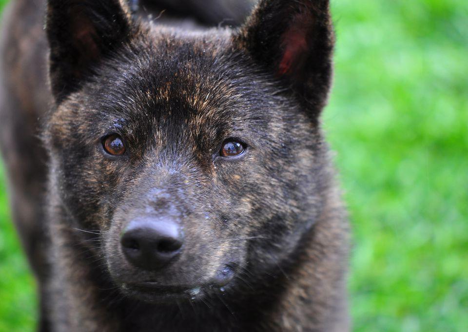 Kai Ken Dog Breed Portrait