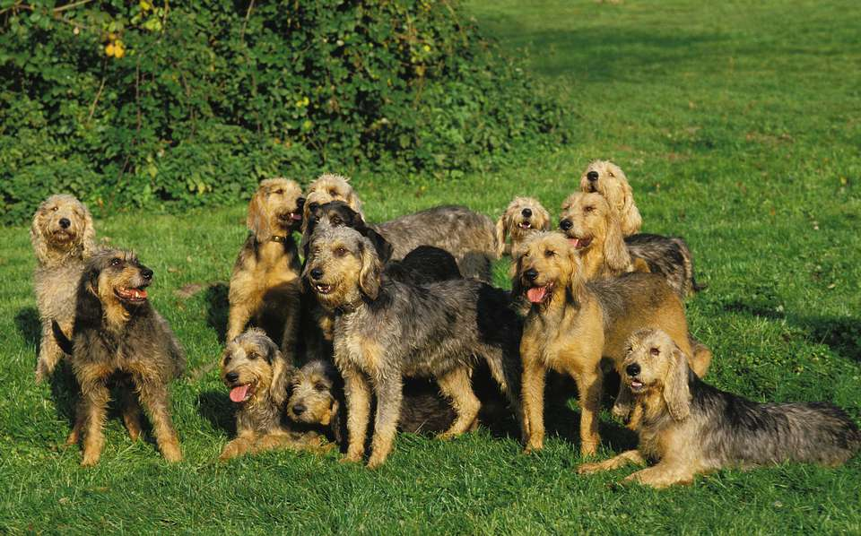 Griffon Nivernais Dogs in a Field