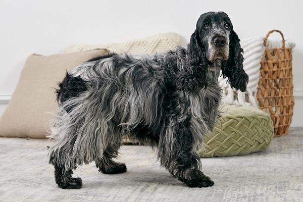 English Cocker Spaniel dog standing indoors in profile