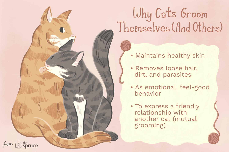 por qué los gatos se arreglan