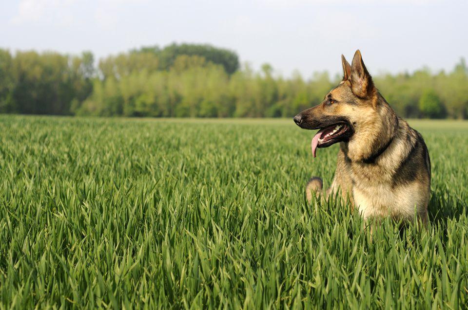 German Shepherd in grass