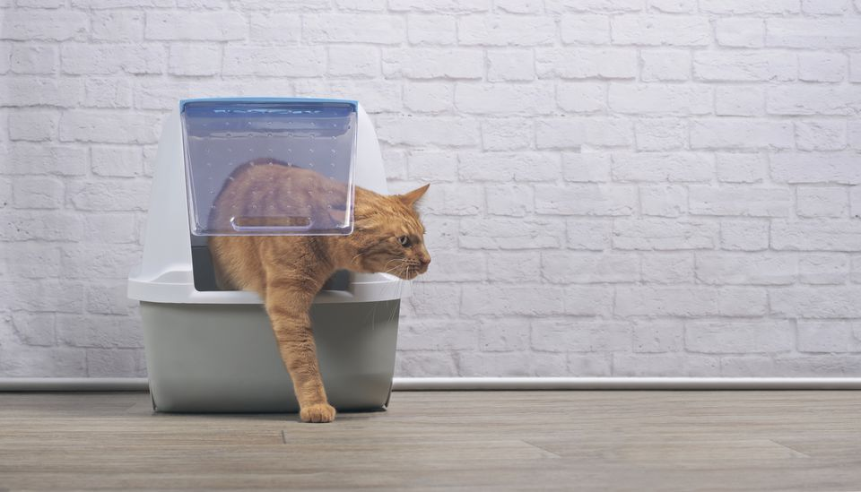 A Ginger Cat Walking Out of a Covered Litter Box