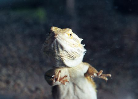 Reasons Why Bearded Dragons Glass Surf and How to Stop It