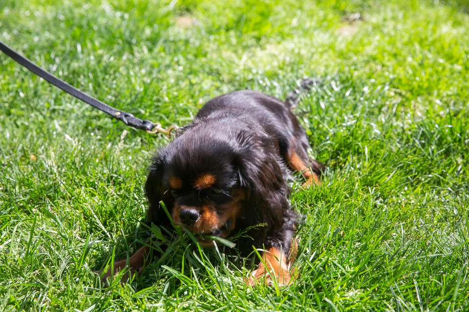 Black and brown puppy on leash eating grass