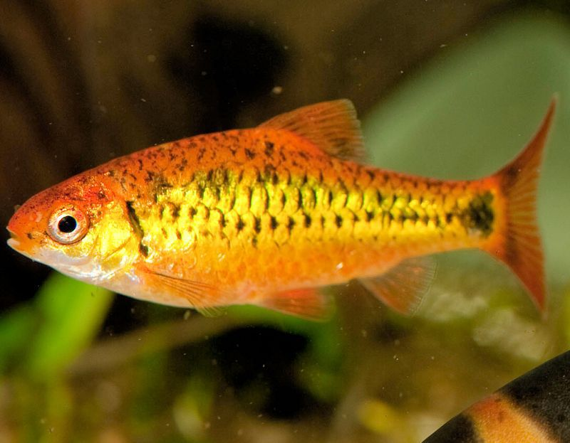 Puntius semifasciolatus - Gold Barb