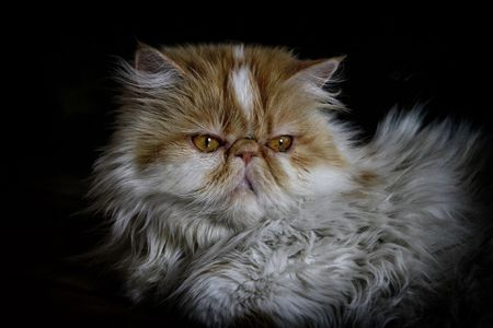 12 Stunning Persian Cats