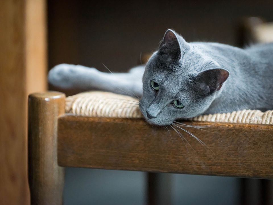 Russian blue cat lying on a chair
