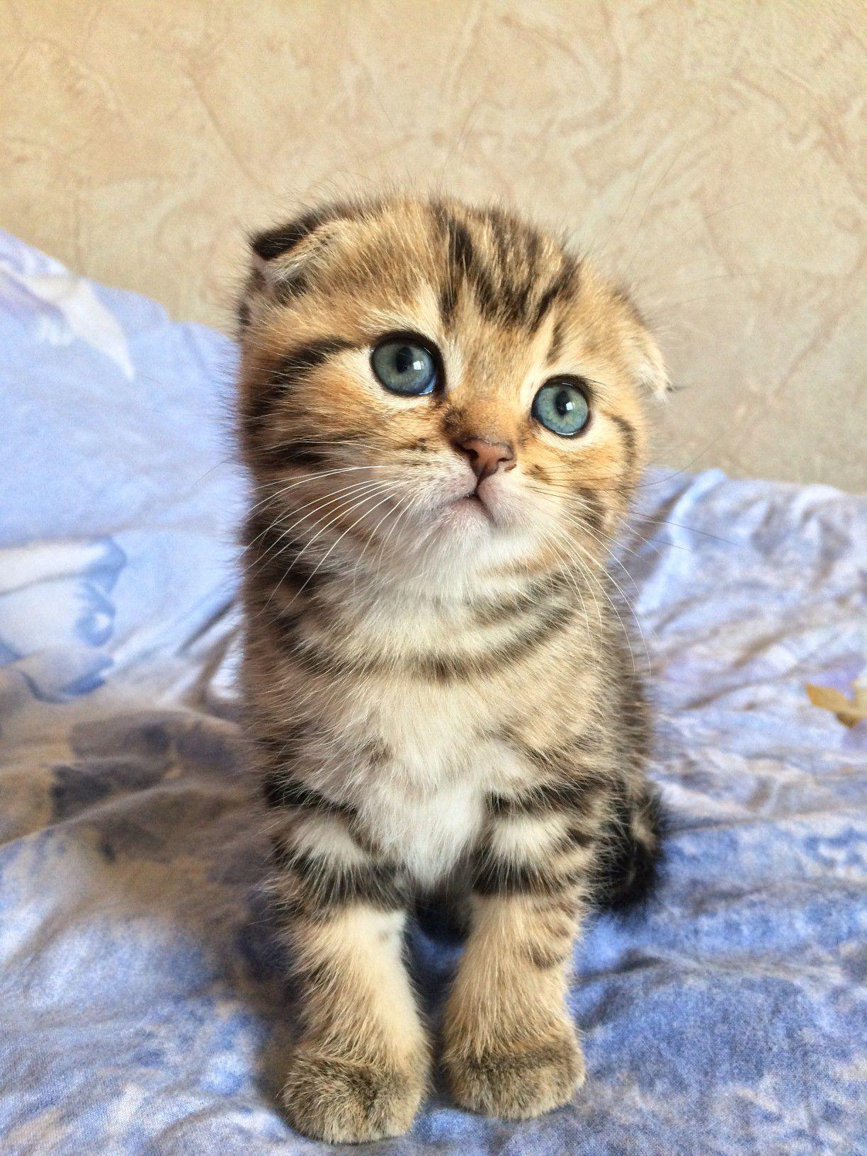 Scottish Fold Cat Full Profile History And Care