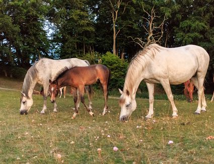 Low angle view of horses and foals grazing on grass