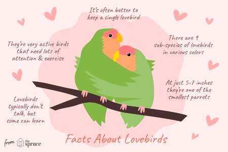 Facts About Lovebirds