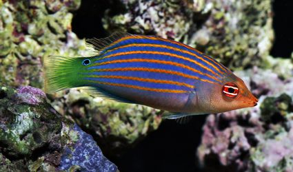 Six Line Wrasse with coral background