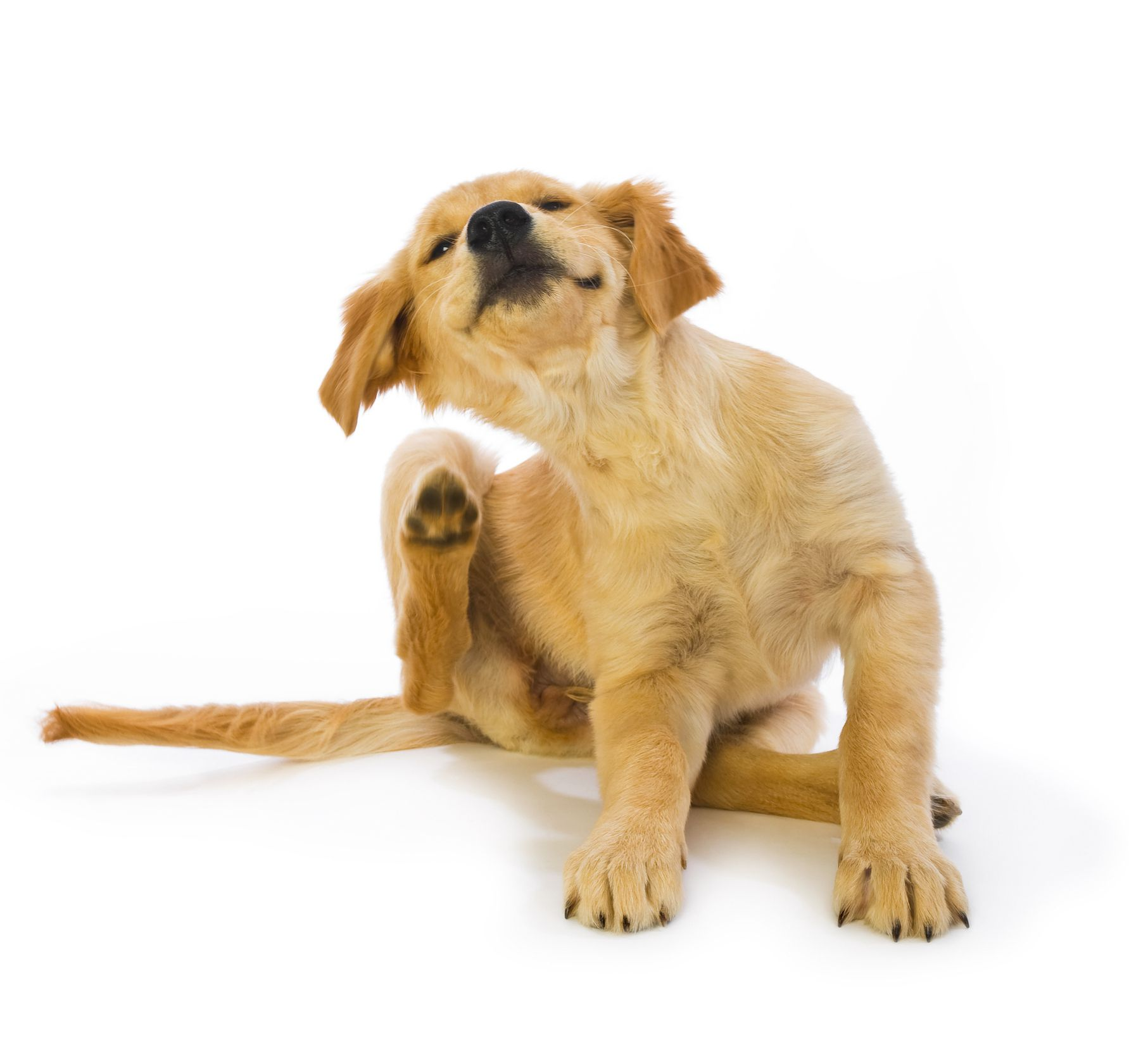 Fleas are not just itchy, they carry (and cause) disease.