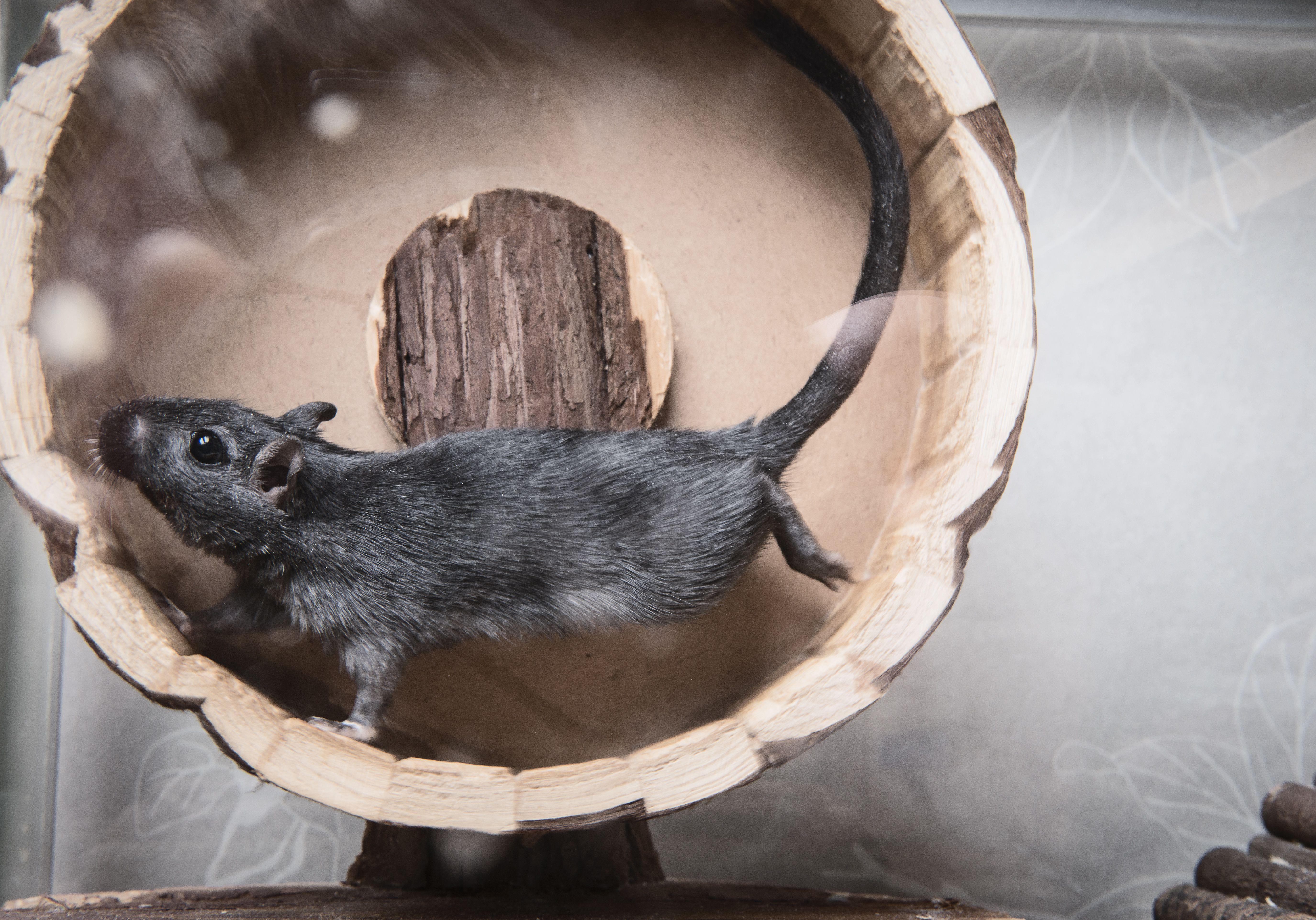 Gerbil running on a wooden wheel.