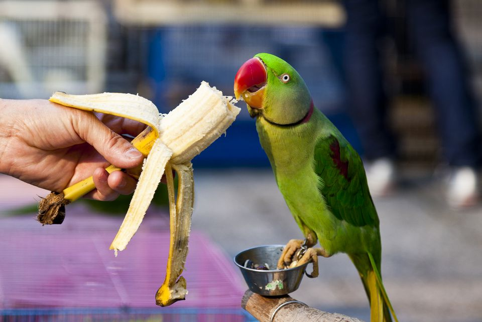 A hand feeding a banana to a parrot