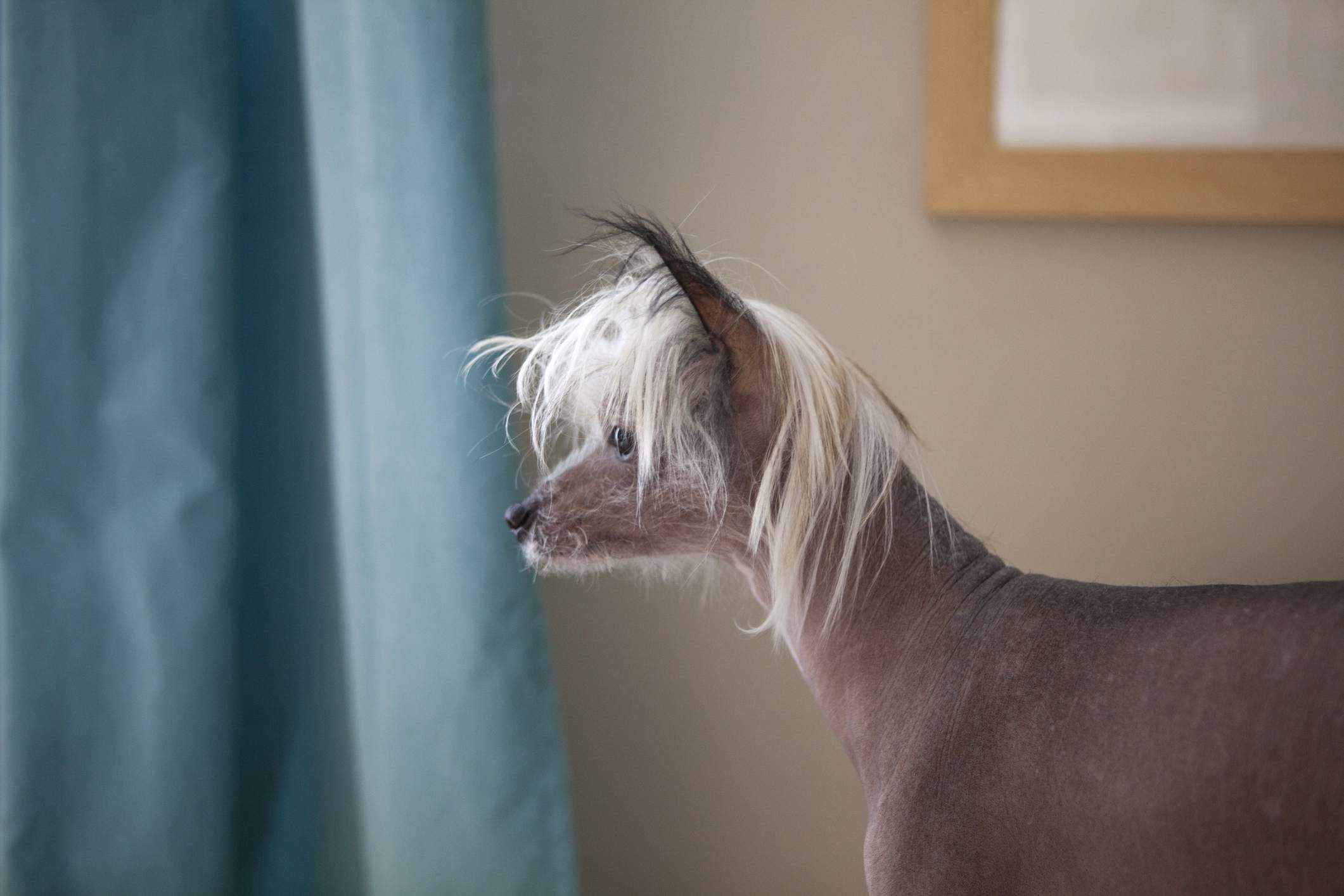 chinese crested dogs for apartments