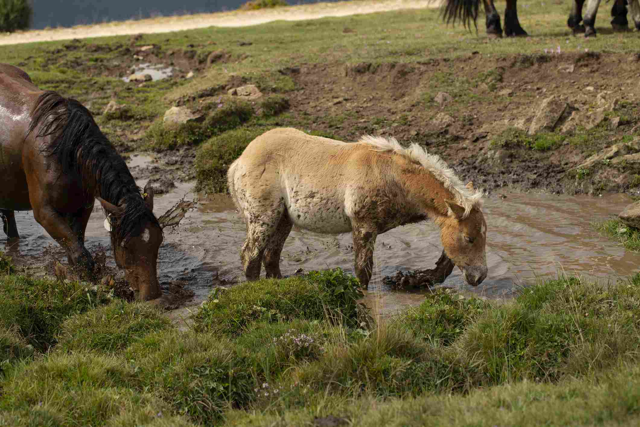 Foal bathes in a mud pond
