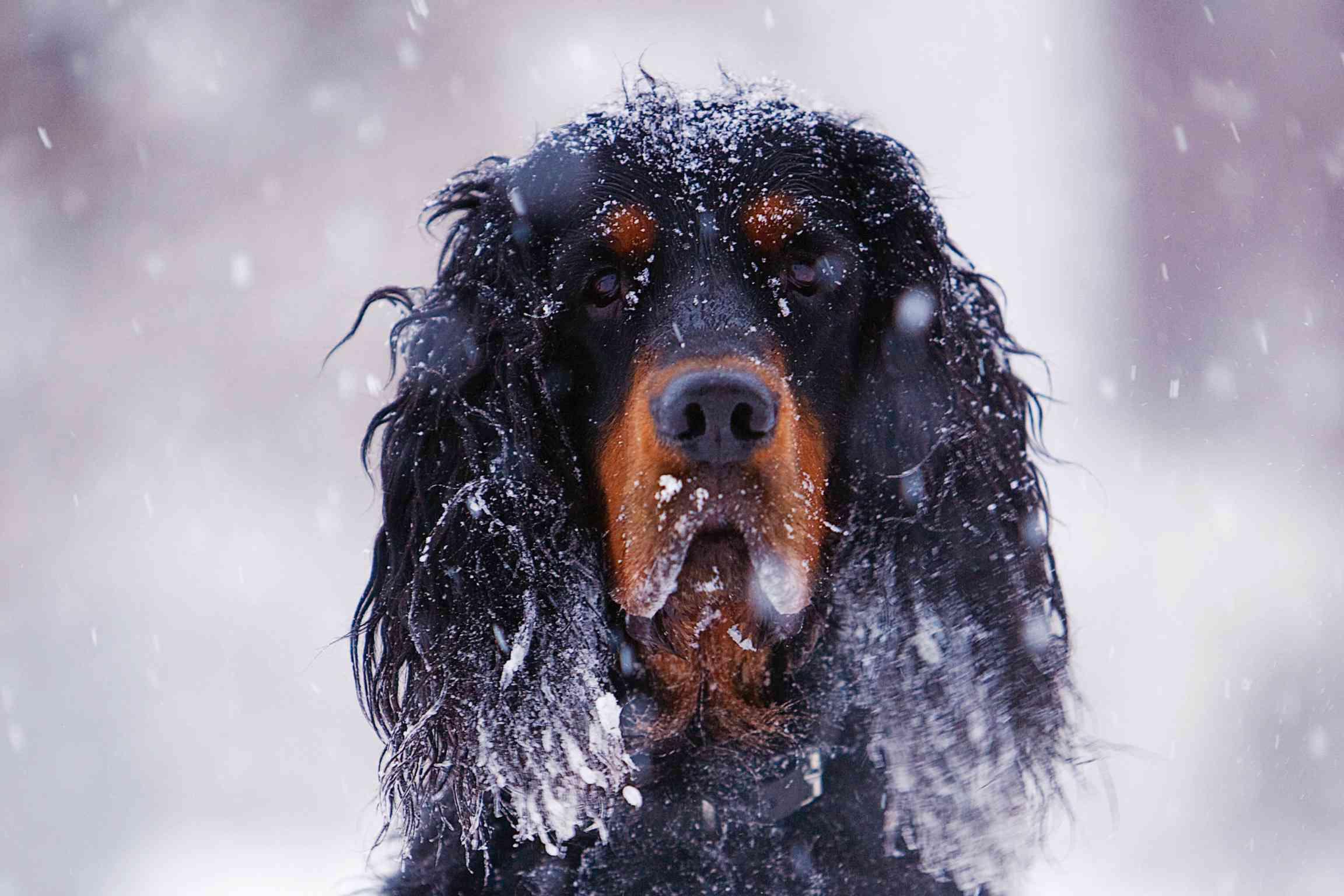 A Gordon Setter head shot in the snow