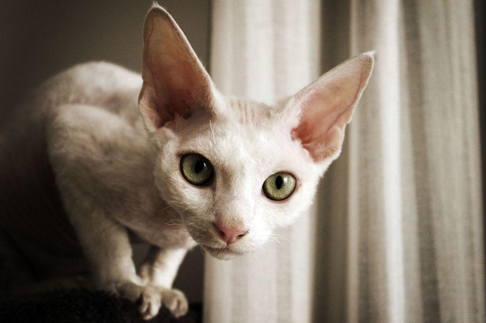 Gato Devon Rex con grandes ojos verdes
