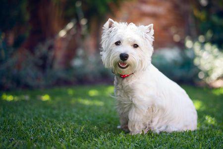 west highland white terrier dog breed profile