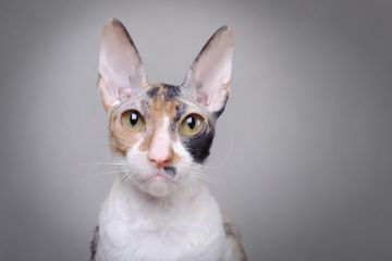 Cornish rex cat portrait; cat with big eyes