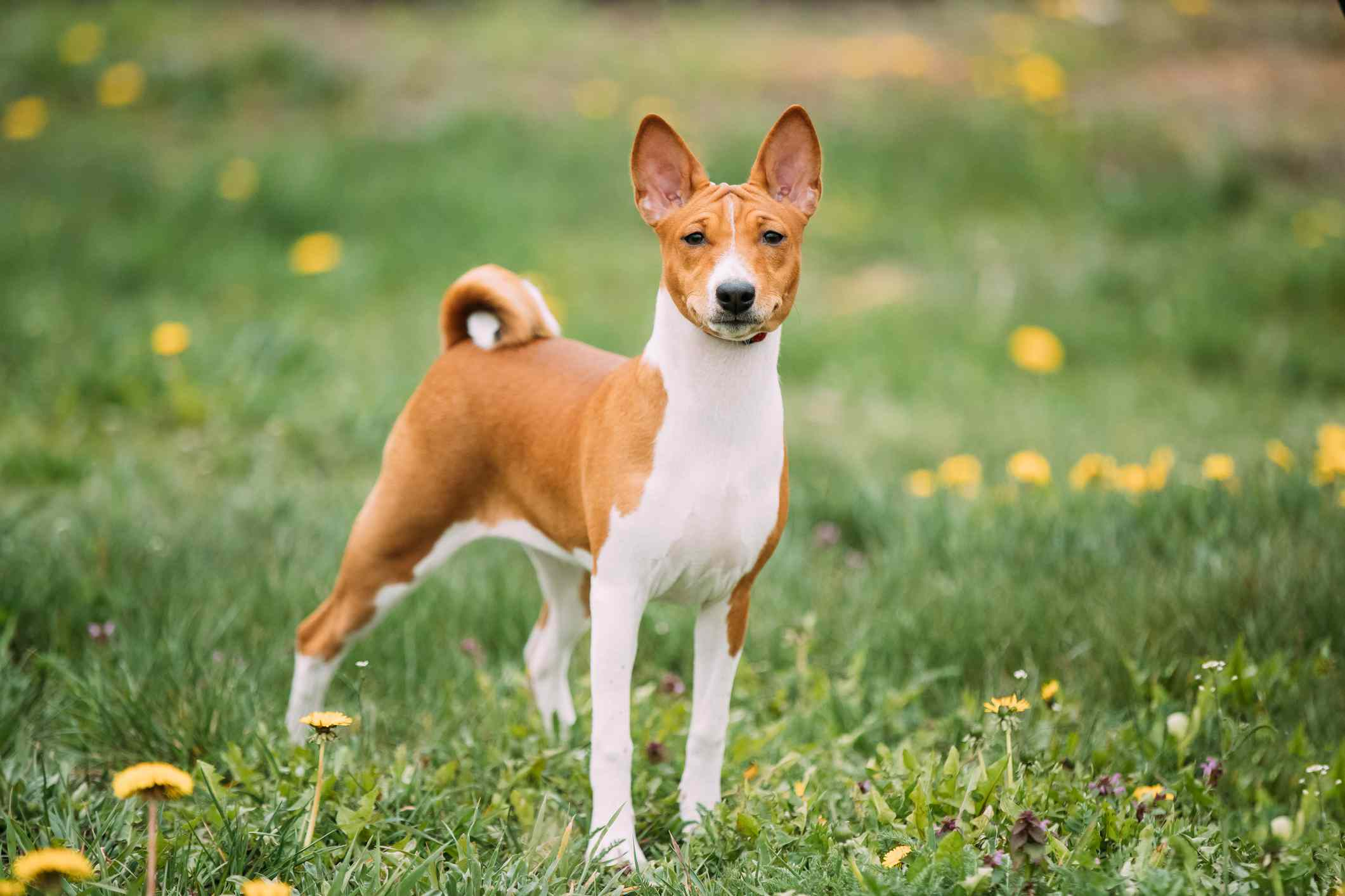 A red and white Basenji dog with perked ears and a curled tail standing in a field with dandelions and looking straight at the camera.