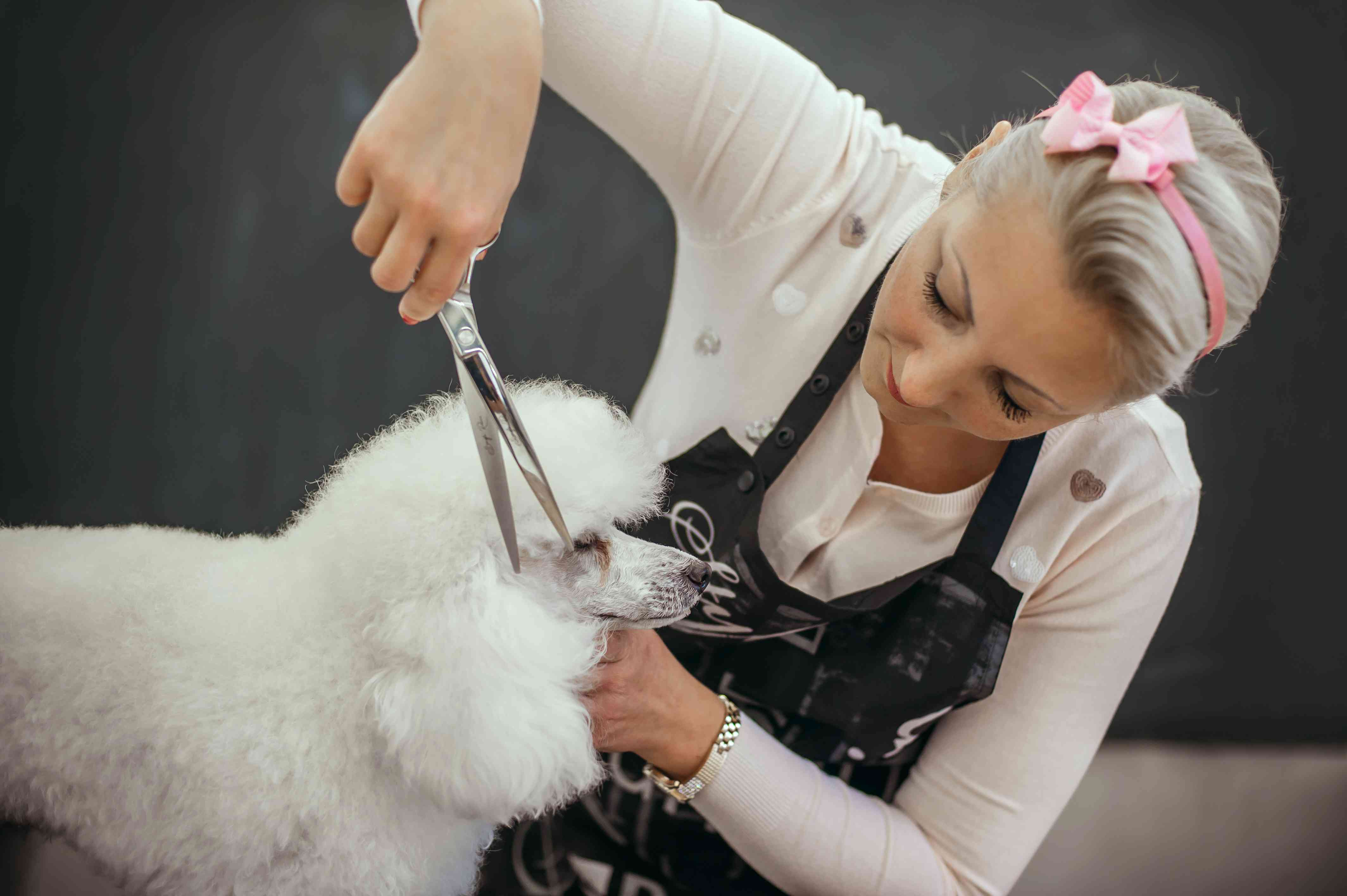 A white Toy Poodle getting a hair cut.