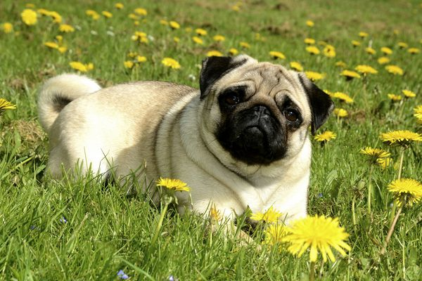 Pug lying in meadow with dandelions