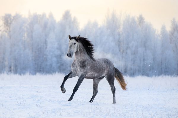 Grey Andalusian cantering in a snowy paddock