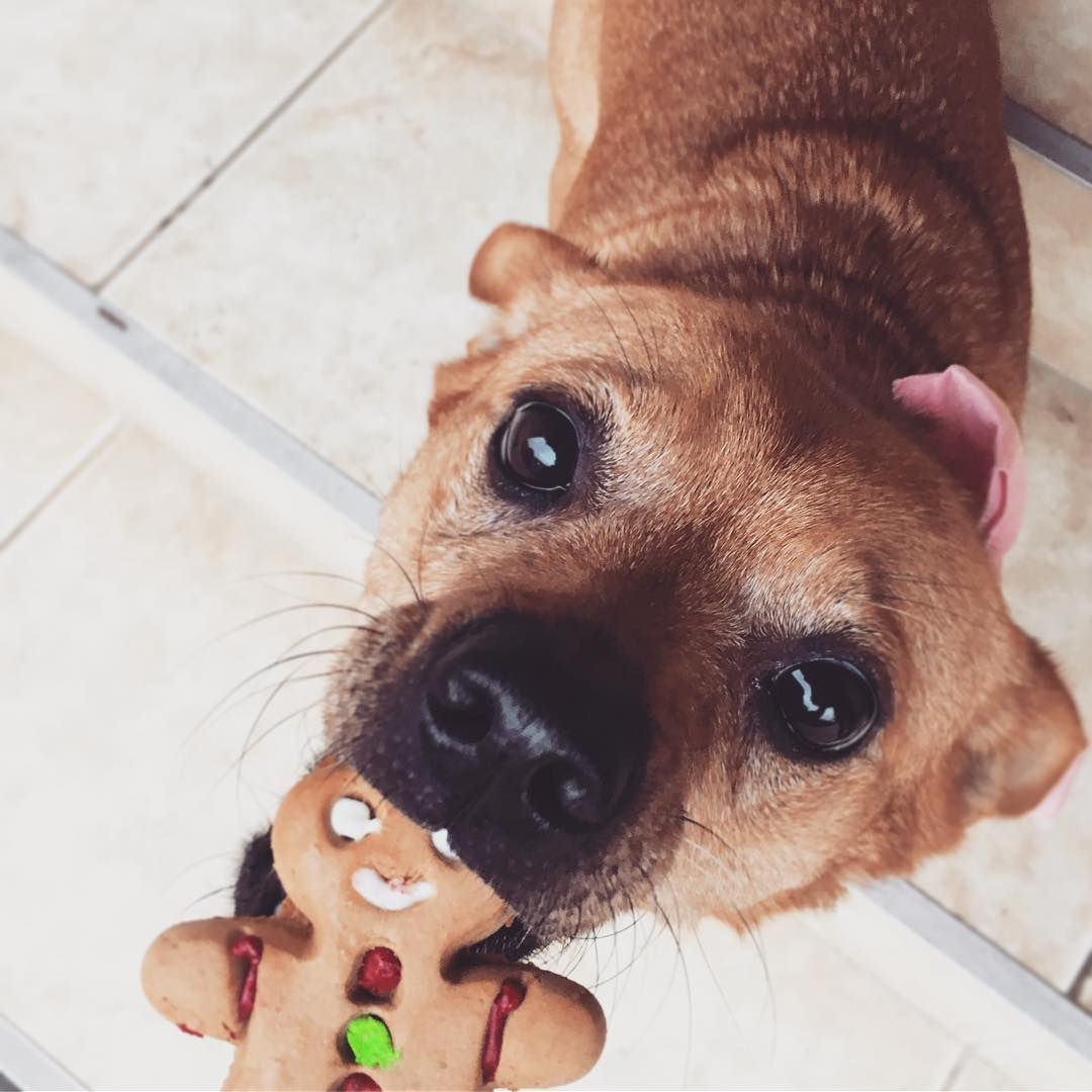 A dog eating a gingerbread cookie