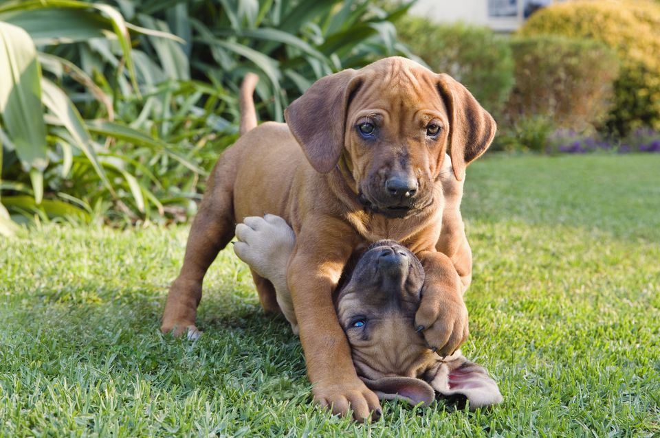Two puppies playing outside in a garden.
