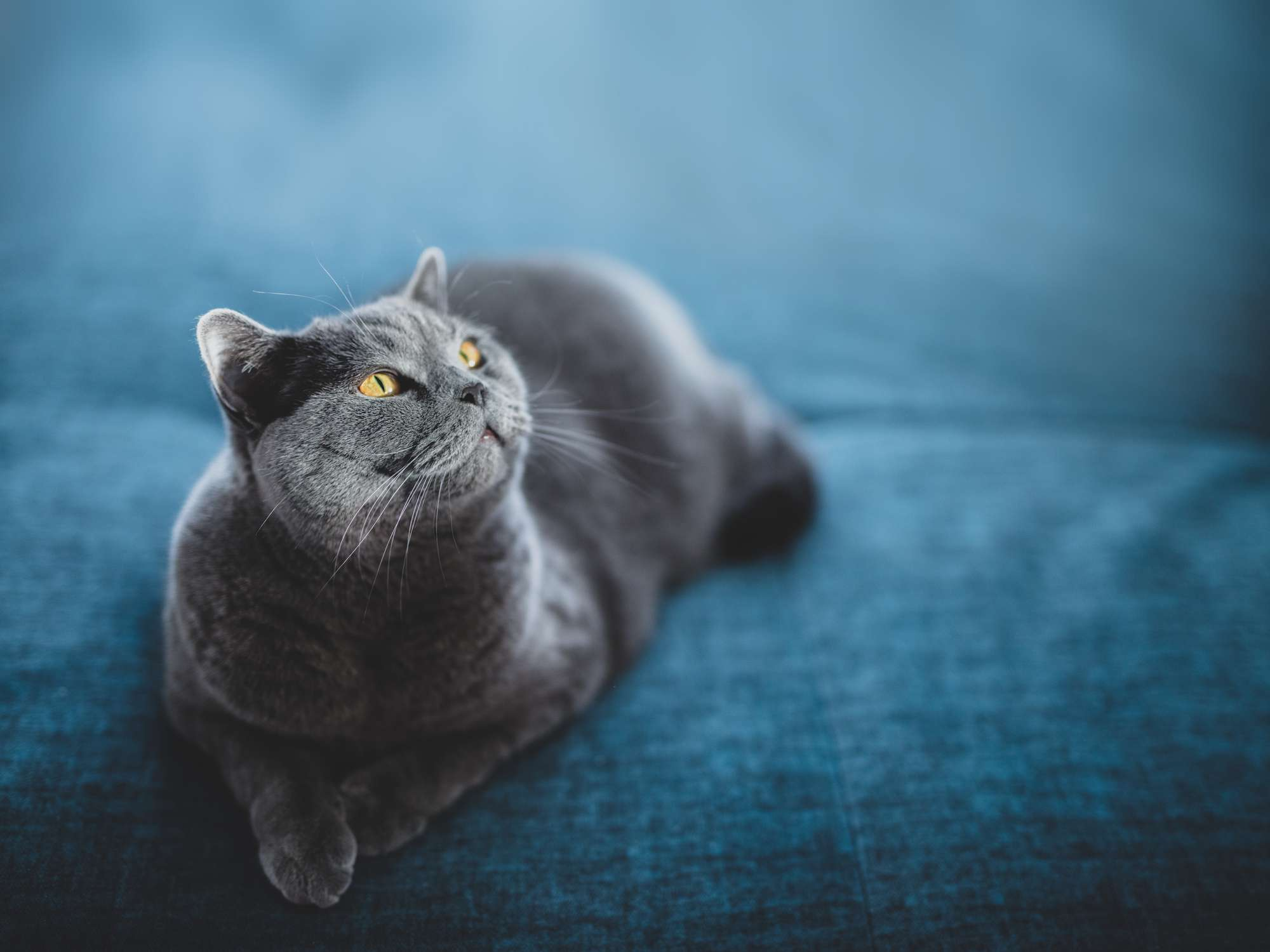 A blue-gray cat sitting on a blue couch.