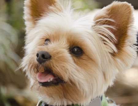 Yorkshire Terrier Full Profile History And Care