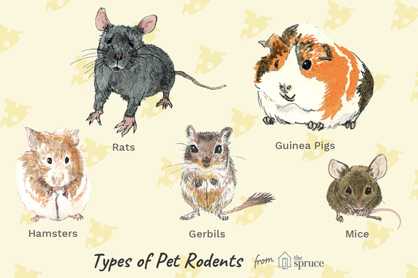 Illustration of types of pet rodents