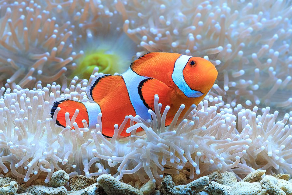 Close-Up Of Clown Fish Swimming By Coral