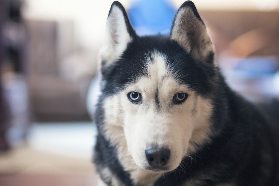 Adult Siberian Husky looking at camera.
