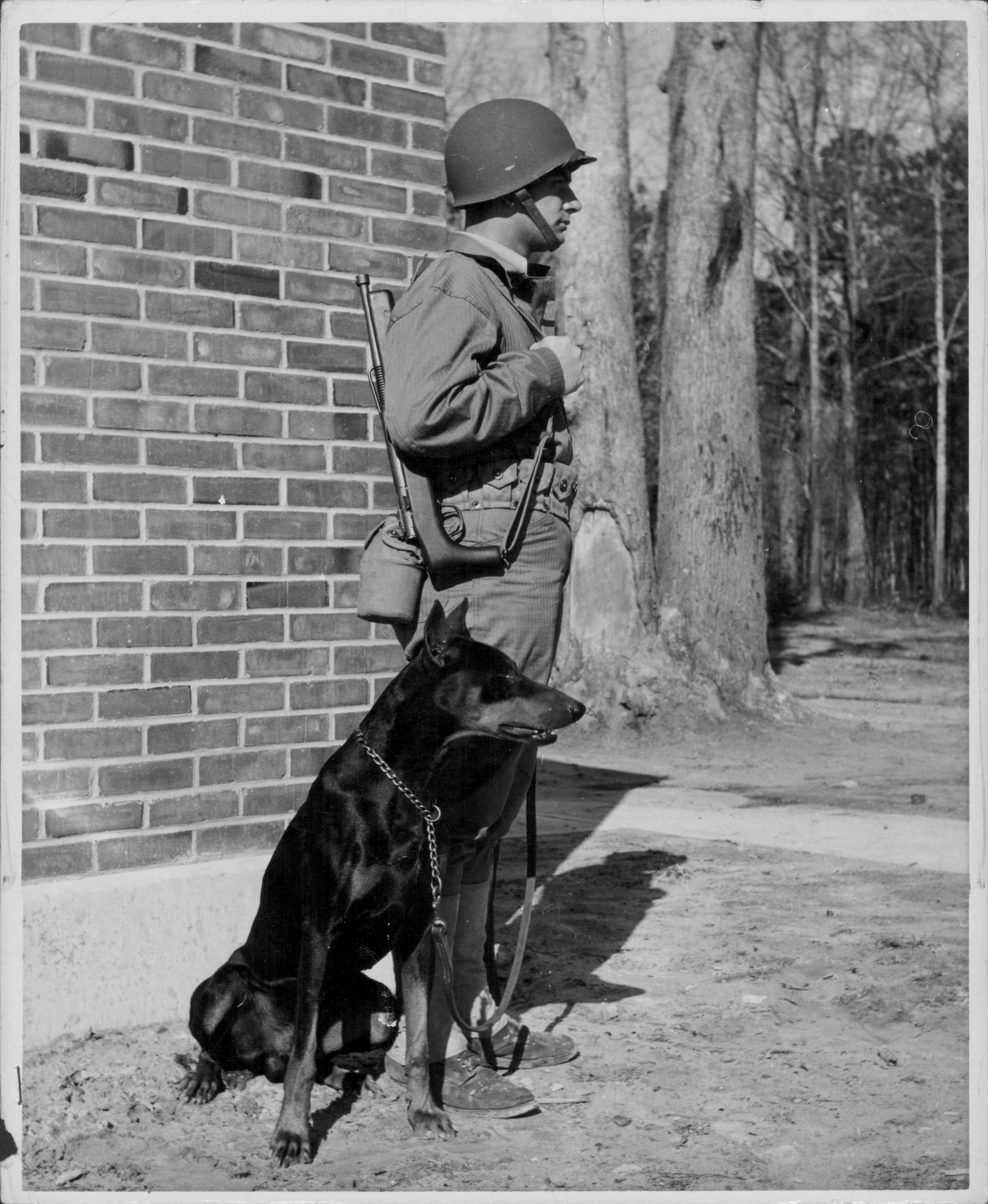 Private 'Jan', an enlisted Doberman, being trained at Marine Corps Base Camp Lejeune during World War Two, North Carolina, USA, circa 1941-1945.