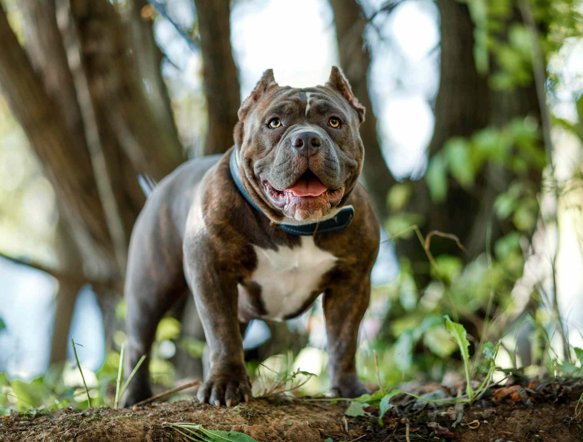 American bully standing in a forest