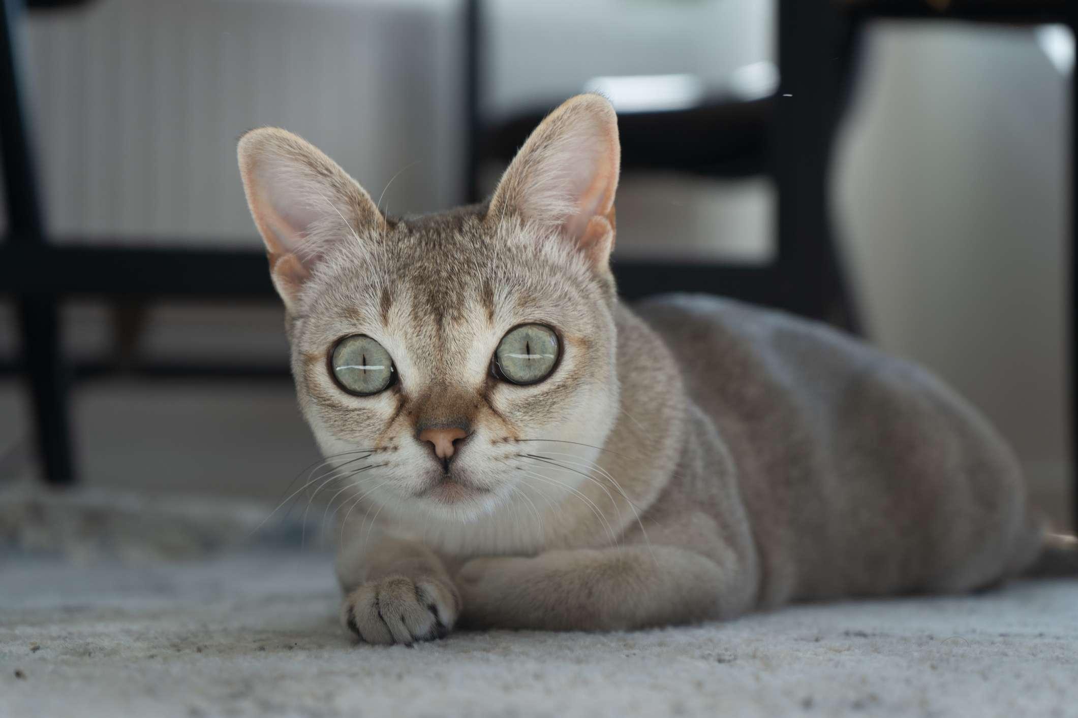 Gato Singapura con ojos grandes