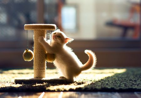 Kitten on hind legs with scratching post