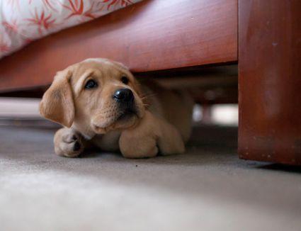 Puppy hiding under bed
