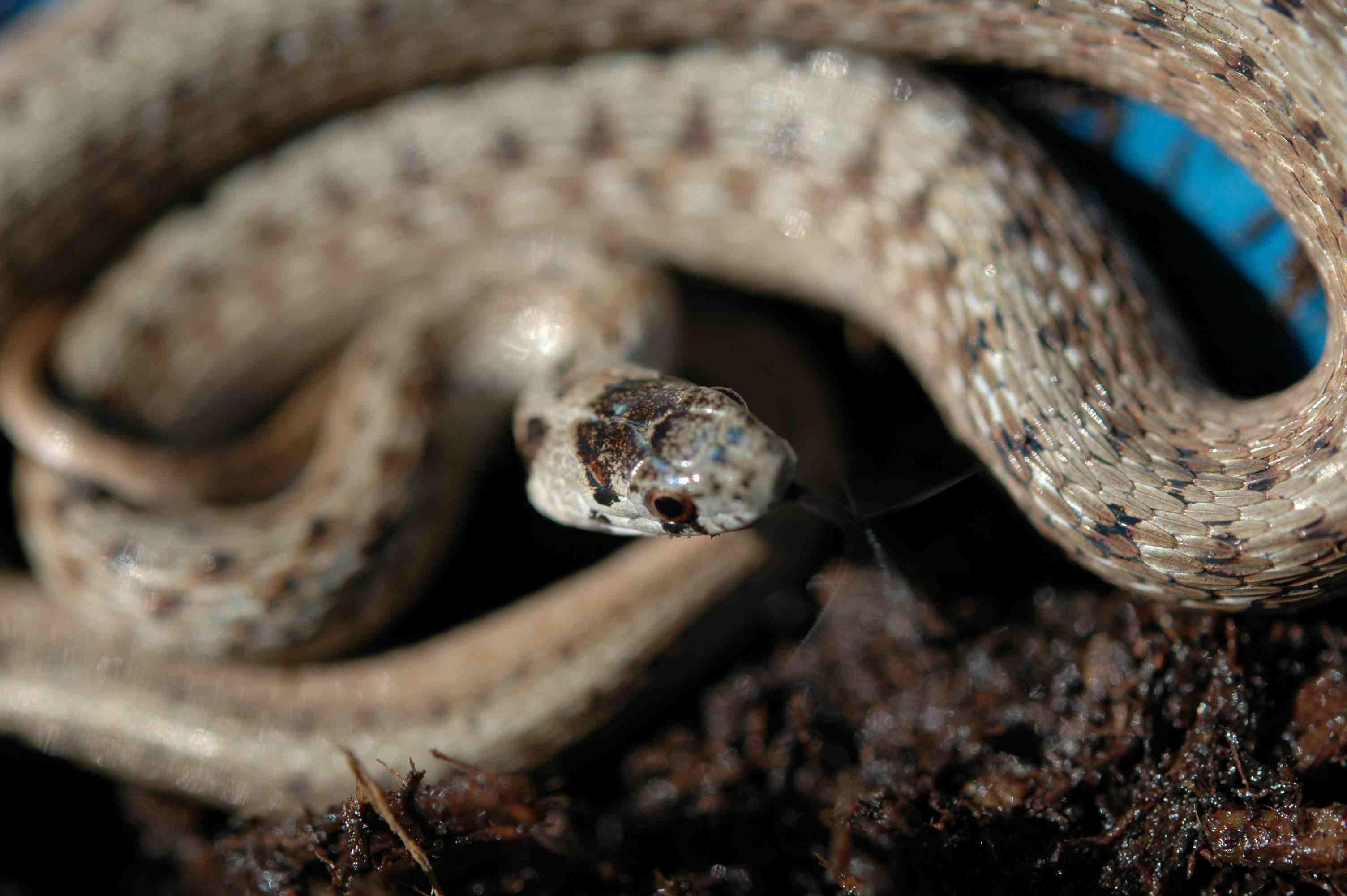 Snake on mulch