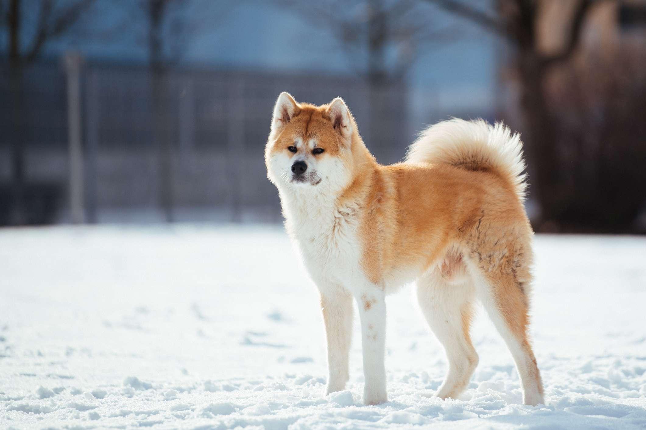 Akita standing in snow