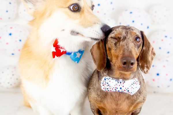 A corgi wearing a bow tie licking the ear of a dachshund also wearing a bow tie.