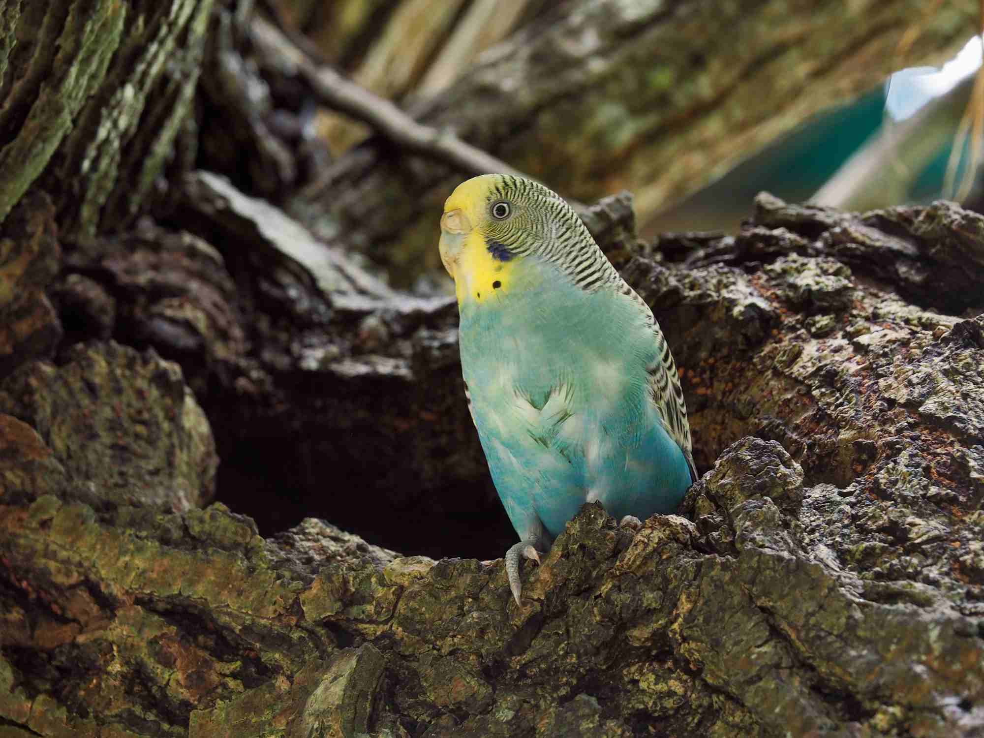 Budgerigar perched on a tree stump