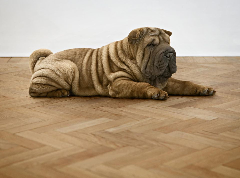 Shar Pei, close-up
