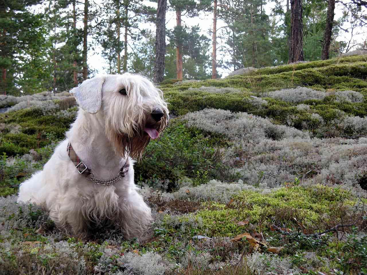 Sealyham Terrier in forest shrubs
