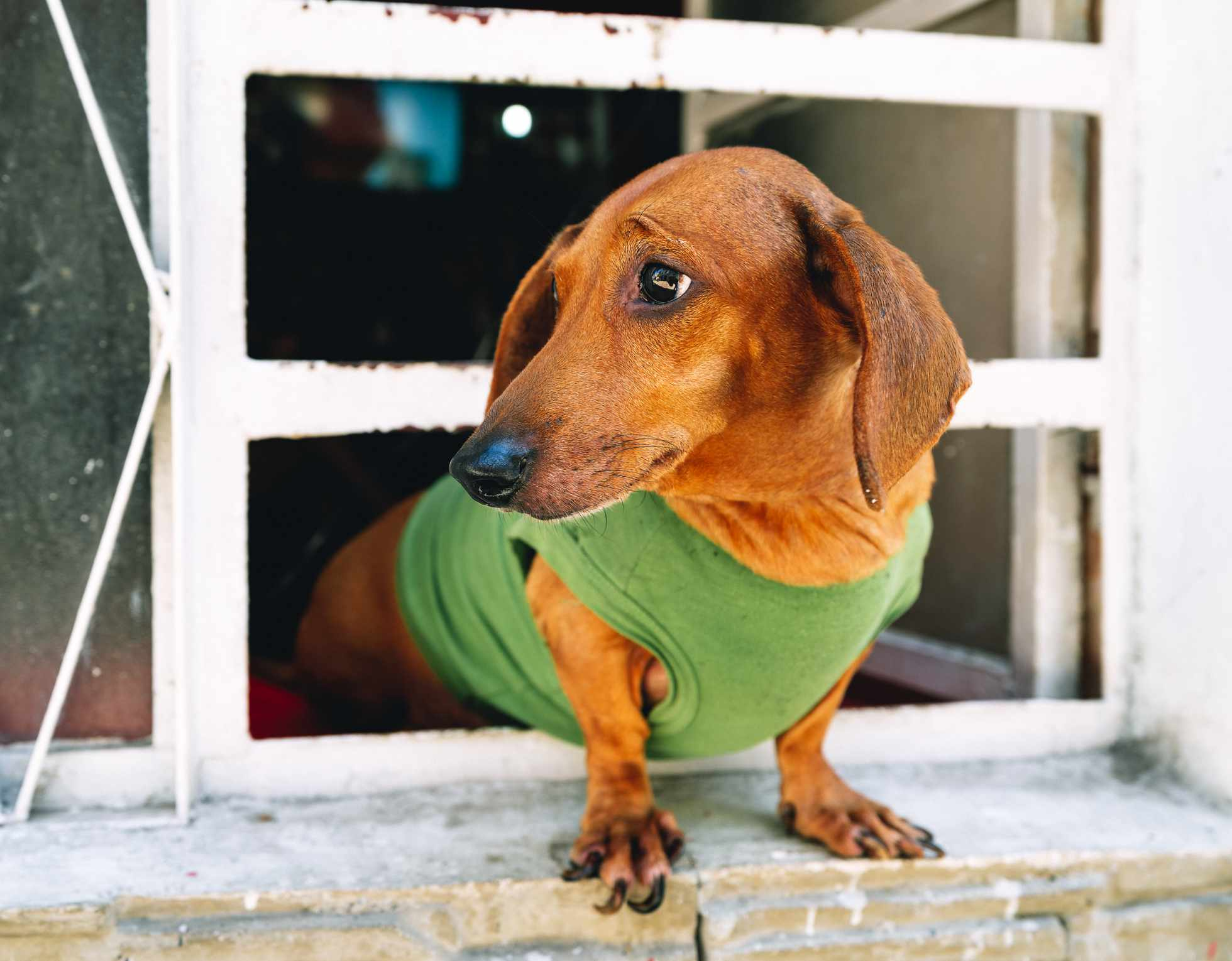 A brown dachshund leaning out the window.